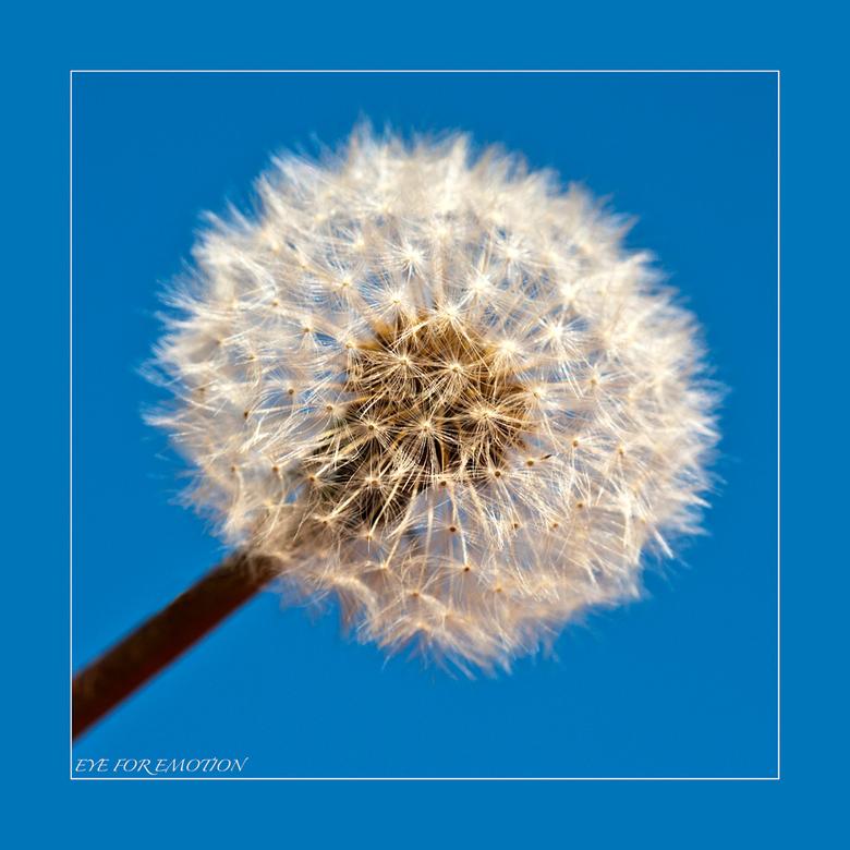 """Pluizenbol - Zo noemden wij ze vroeger als kind <img  src=""""/images/smileys/wilt.png""""/> vond ze toen al mooi...horen bij lange hete zomers!<br /> Aank"""