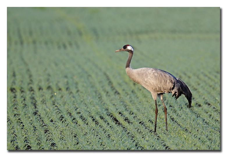 Kraanvogel -  afgereisd met een gezelschap naar Diepholz om deze pracht kraanvogels te fotograferen<br /> <br /> 1 kraanvogel net mooi in het ochten