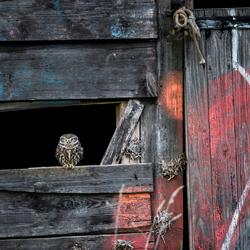graffiti steenuil in een oude schuur.