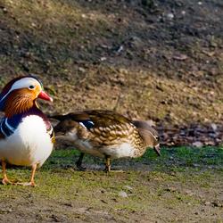 Mandarina Ducks