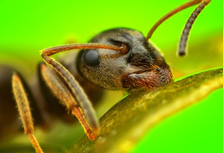 Mier - Een mier met een vergroting van 7X.<br /> <br /> Canon EOS 60D<br /> Canon MP-E 65mm<br /> Kenko 1.4 teleplus pro 300<br /> Canon MT-24EX