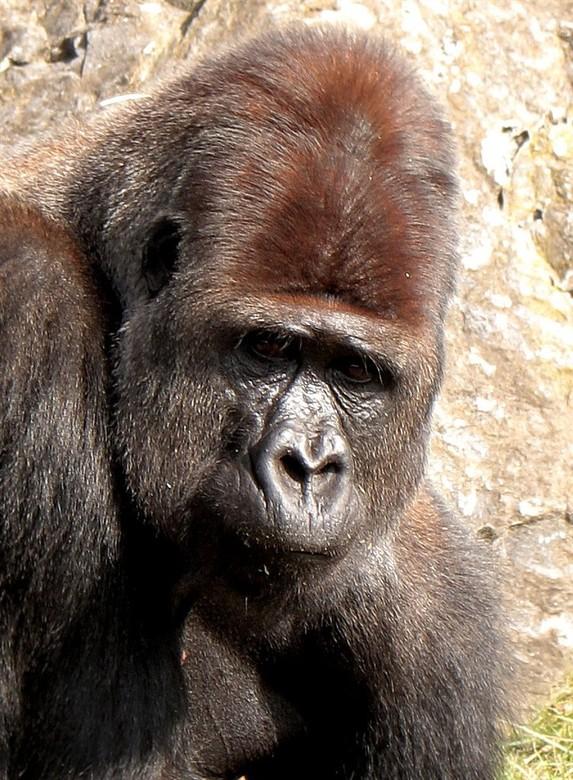 Ik, witrug gorilla - Witrug gorilla.