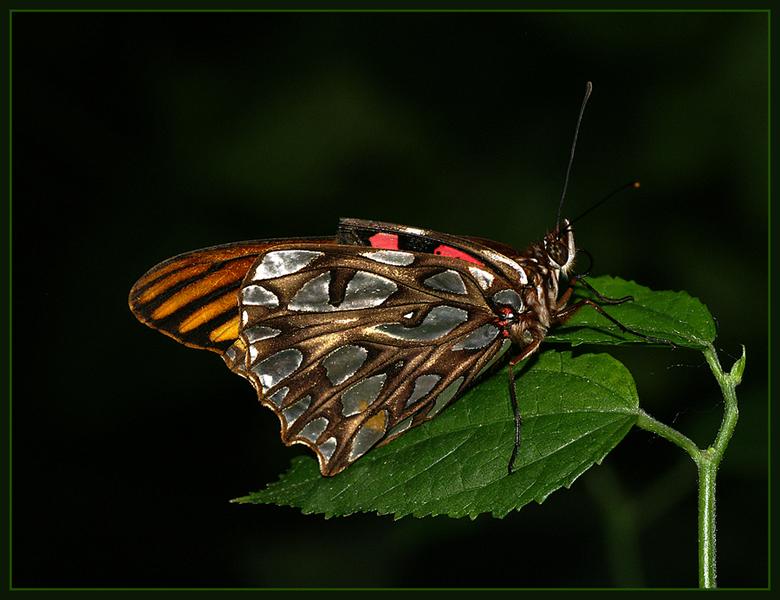 Kleurrijk! - Vlinders blijven een geweldig onderwerp om te fotograferen, wat een kleurenpracht!<br /> <br /> Iedereen weer bedankt voor de leuke com