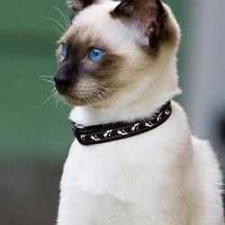 Onze Thaise kat