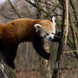 Rode Panda 2