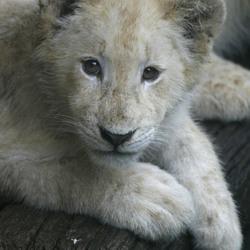 Witte leeuwen welp