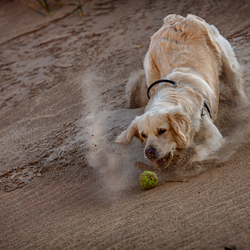 Golden Retriever duikt op de bal