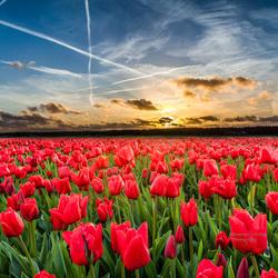 tulpen 4