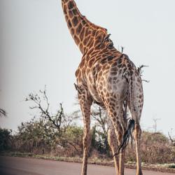 Giraffe, Kruger Park (Zuid-Afrika)