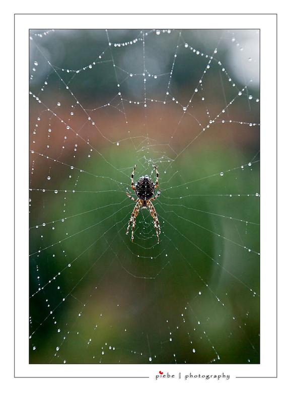 Spin in het web - Deze meneer hing voor ons keukenraam. Inmiddels is hij verhuisd. Net na een regenbui kon ik deze foto door het raam heen maken.<br /