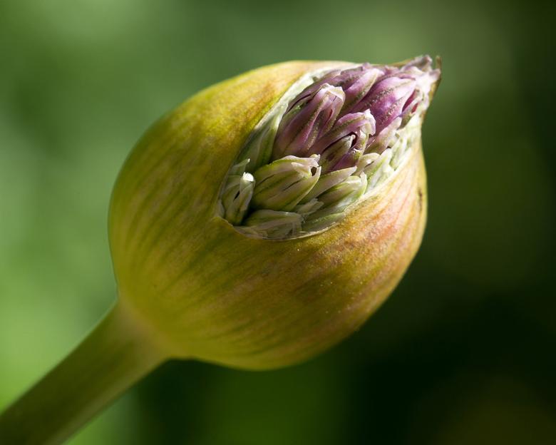Spring Explodes - Allium (sierui) groeit uit zijn jasje!