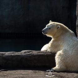 IJsbeer aan het relaxen aan 't water