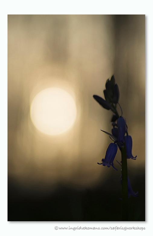 Morning Has Broken - Nee hoor, de boshyacintjes zijn er nog niet, maar dit is een mooie foto om een zondag in te luiden, toch? <br /> <br /> Hallerb