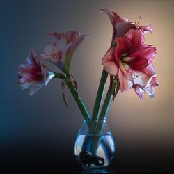 Klooien met licht. Amaryllis
