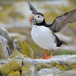 puffin flap wings