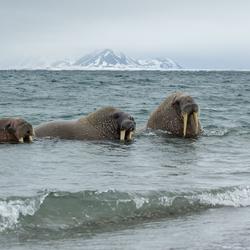 Walrussen op Poolepynten, Spitsbergen