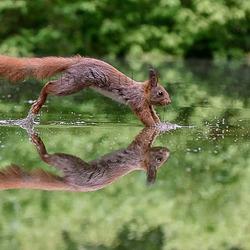 eekhoorn in spiegeling
