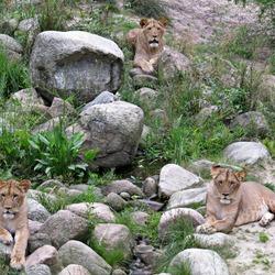 Leeuwen dierenpark Emmen