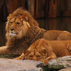 Koning en koningin van de jungle