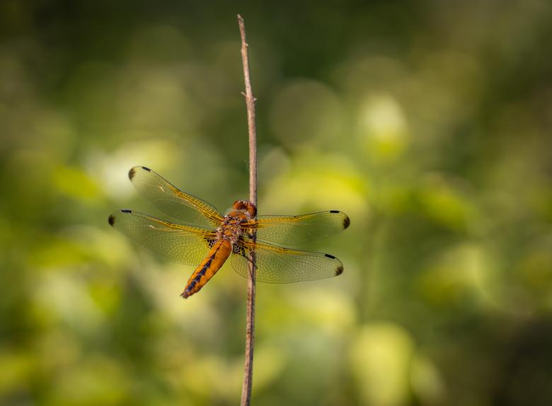 Libellula fulva - oftewel een bruine korenbout.  Veel foto's van libellen zijn van zijkant genomen. Bij dit bovenaanzicht zie je mooi de karakter