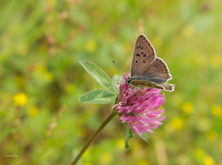 Life!!!!!!!!!!!! - Prachtig als het leven...kleurrijk en beeldschoon...de Bruine Vuurvlinder.......<br /> <br /> Door drukte maar af en toe op Zoom.