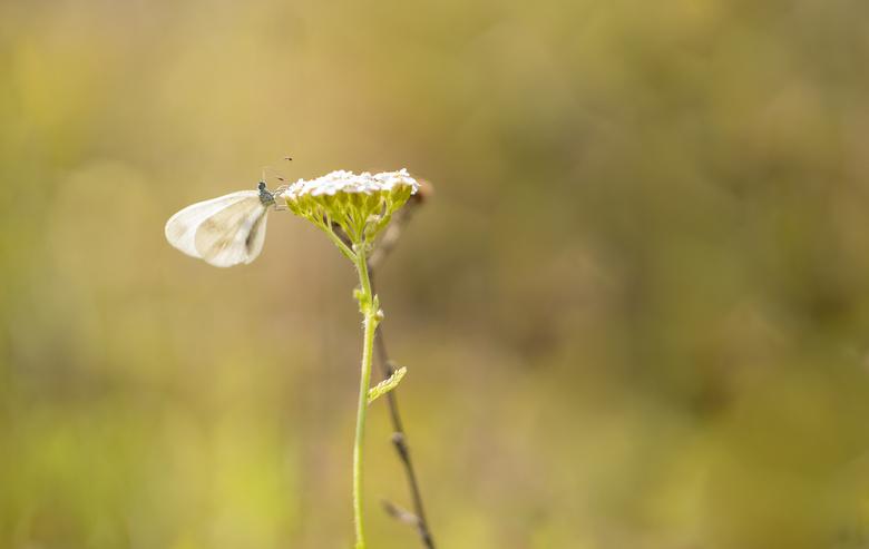 Fragiel boswitje - Het boswitje bezit zo ongeveer de meest sierlijke vlucht van de inheemse vlindersoorten.  Hierdoor ook makkelijk te onderscheiden t