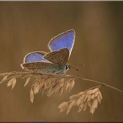 Icarus blauwtje 2