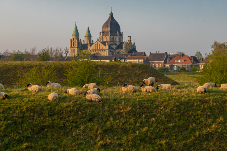 Grazende schapen bij een opkomende lentezon - Grazende schapen bij de oude vestigingswerken Maastricht tijdens de ochtendzon. Deze schapen zorgen voor
