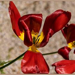 Tulpen in natuurlijk verval_DSC2182.