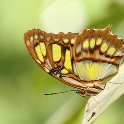 De malachietvlinder