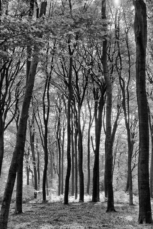 light - Bomen in zwart wit. Het contrast van de donkere bomen en het zonlicht maakt een fraai lijnenspel.
