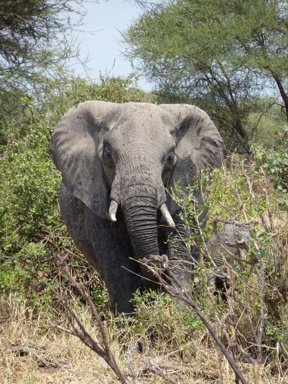 Olifant op ramkoers - Omdat ik al veel olifanten heb mogen zien heb ik net zolang rond gespeurd totdat ik er 1 recht van voren op de foto kon zetten.