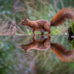 Eekhoorn reflectie