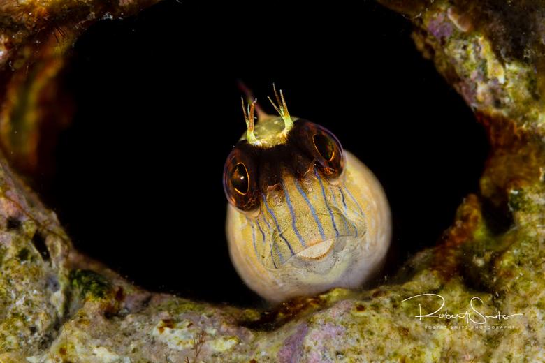 Gekroonde Blenny - Dank voor de reacties op de vorige foto&#039;s! <br /> <br /> Wist je dat deze visjes ontzettend schuw zijn en dat ze erg klein b