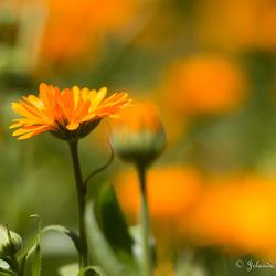 Oranje Margriet