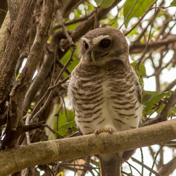 White browed owl