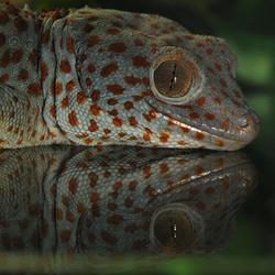 Reptiel gespiegeld