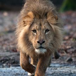 Leeuw Burgers' Zoo