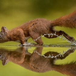 Squirrel walks on water