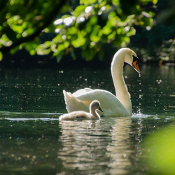 Moeder zwaan en kind