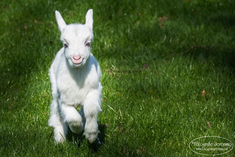 Happy days are here again .... :-)! - De lente brengt zoveel vrolijkheid met zich mee ! Zelfs dit pasgeboren geitje tovert een lach op zijn/haar snuit