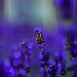 Lavander and Bee Beauty by Rudenko-Photography