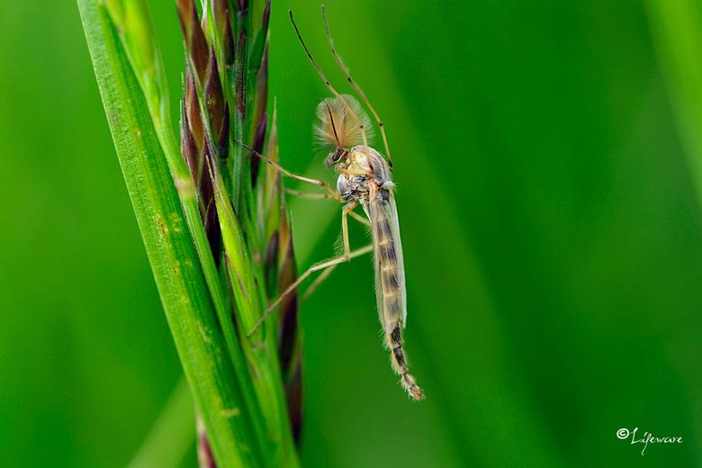 """Discomug - Dansmug.<br /> De muggen die je nu veelvuldig treft in de Flevopolder langs de dijken. <br /> Ze steken gelukkig niet <img  src=""""/images/"""