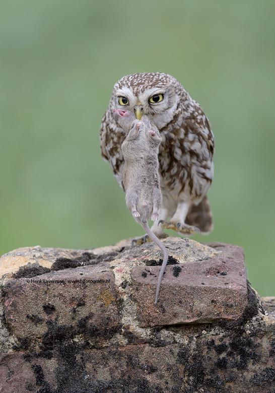Steenuil met muis - Deze Steenuil (Little Owl) laat zijn prooi even zien!<br /> <br /> hoi henk<br /> http://www.hlfotografie.nl/