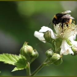 Nectar van Bramen