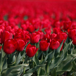Festival of red