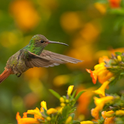 hummingbird hunting 2