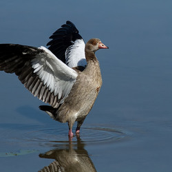 spread his wings