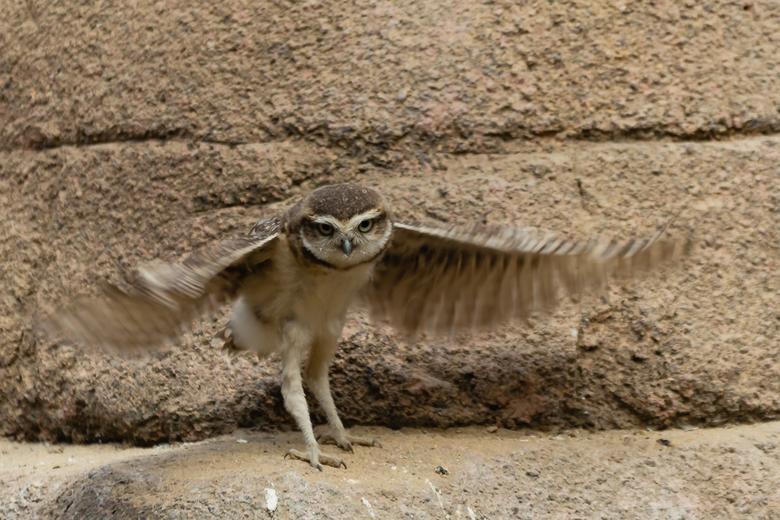 Konijnuiltje wil vliegen - Deze jonge konijnuil was flink met zijn vleugels aan het wapperen en probeerde net als zijn broertjes en zusjes van de gron