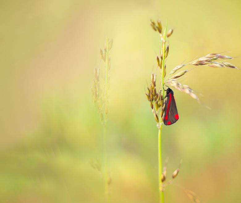 Green Green Grass of Home - Tussen het groene gras vlakbij huis en in het warme licht van  de ondergaande zon viel deze Sint Jacobsvlinder met zijn fe
